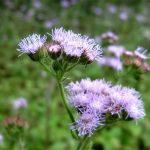 Cách chữa viêm xoang bằng hoa ngũ sắc